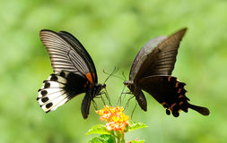 Het aandeelbloemen van de Vlinder van Swallowtail Stock Foto's