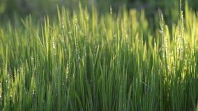 Het aantrekkelijke groene natte grasgebied beweegt zich met wind in de stralen van de zonsondergangzon stock video