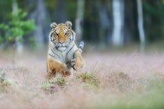 Het aanvallen van Amur-tijger van voorzijde Siberische tijger die in wilde taiga springen Siberische tijger, altaica van Panthera stock foto's