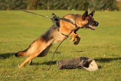 Het aanvallen van hond in opleiding Stock Fotografie
