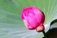 Het aanvankelijke bloeien van Lotus Royalty-vrije Stock Foto