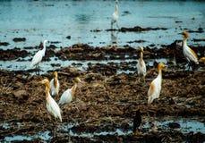 Het aardwild, witte vogels die rond het geoogste padieveld lopen en voor voedsel, kleine insecten in platteland letten op stock afbeeldingen