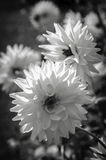 Het abstracte zwart-witte close-up van de de Lentebloesem Royalty-vrije Stock Afbeeldingen