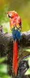 Het achtereind van mooie Scharlaken Aravogel is neergestreken op een hout Royalty-vrije Stock Foto