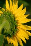 Het Achterste van de zonnebloem stock foto's
