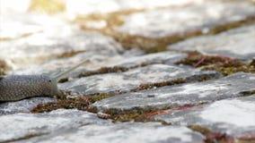 Het actieve tuinslak kruipen (Species: Schroefaspersa of Cornu-aspersum) stock videobeelden