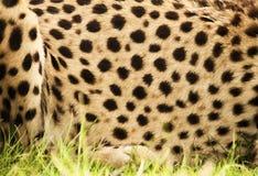 Het af:drukken van de jachtluipaard Stock Foto