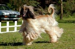 Het Afghaanse hondenhond lopen Stock Foto's