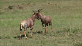 Het Afrikaanse antilopen vechten stock video