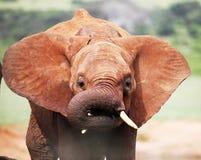 Het Afrikaanse babyolifant klappen Royalty-vrije Stock Foto