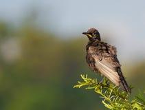Het Afrikaanse bonte starling Stock Foto's