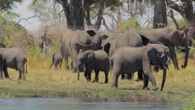 Het Afrikaanse de safariwild en wildernis van olifantsafrika stock videobeelden