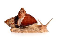Het Afrikaanse fulica van slakkenAchatina kruipen royalty-vrije stock afbeeldingen