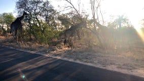 Het Afrikaanse Giraf weiden van een boom stock videobeelden