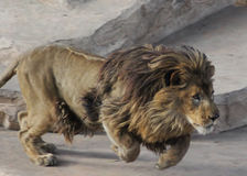 Het Afrikaanse leeuw lopen Royalty-vrije Stock Foto's