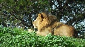 Het Afrikaanse leeuwmannetje ligt op het gras en kijkt recht stock video