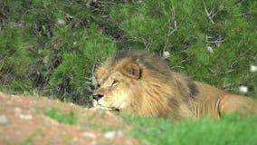 Het Afrikaanse leeuwmannetje ligt op het gras en kijkt recht stock footage