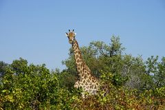 Het Afrikaanse Nationale Park van Girafkruger in het wildernishoofd Stock Foto's