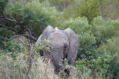 Het Afrikaanse Nationale Park van Olifantskruger alleen in de wildernis Stock Foto