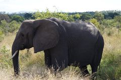 Het Afrikaanse Nationale Park van Olifantskruger alleen in de wildernis Royalty-vrije Stock Foto's
