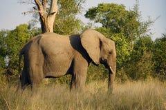 Het Afrikaanse Nationale Park van Olifantskruger alleen in de wildernis Royalty-vrije Stock Foto
