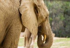 Het Afrikaanse Olifant onbezorgd eten Stock Afbeeldingen