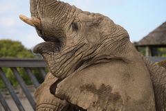 Het Afrikaanse olifant voeden royalty-vrije stock fotografie
