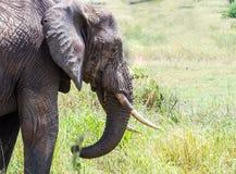 Het Afrikaanse Olifant Voeden Stock Afbeeldingen