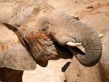 Het Afrikaanse olifant weiden. Royalty-vrije Stock Foto's