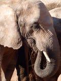 Het Afrikaanse olifant weiden. Stock Fotografie