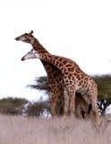 Het Afrikaanse spel van Giraffen Stock Fotografie