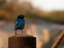 Het Afrikaanse starling zit op een pijp Royalty-vrije Stock Foto's