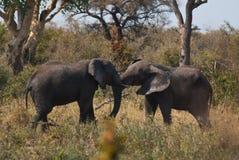 Het Afrikaanse struikolifanten vechten Stock Foto's