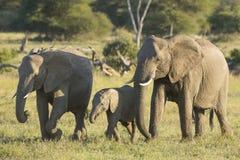 Het Afrikaanse van de Olifantswijfjes en baby (Loxodonta-africana) lopen a Stock Fotografie
