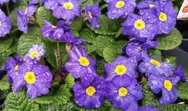 Het Afrikaanse Violet Flower Close Up Still-het Leven Bloeien Stock Fotografie
