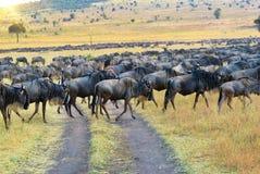 Het Afrikaanse Wild Groot GNU van migratieantilopen Royalty-vrije Stock Foto