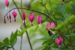 Het aftappende hart is de bloem royalty-vrije stock afbeelding