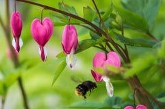 Het aftappende hart is de bloem stock foto