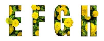 Het alfabet E, F, G, H maakte van de doopvont van de goudsbloembloem die op witte achtergrond wordt geïsoleerd Mooi karakterconce stock afbeeldingen
