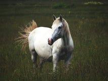 Het alleen witte paard weidt stock fotografie