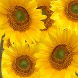 Het allegaartje van Sunfower Stock Foto's