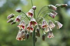 Het Allium van de klok Stock Foto's