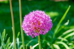 Het Alliumprattii van de bloemnaam met roze kleur, het bloeien hoogtepunt en kijkt als een bal royalty-vrije stock foto