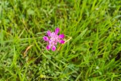 Het Alliumserra van de Jeweledui wildflower, baai de Zuid- van San Francisco, San Jose, Californië royalty-vrije stock afbeelding