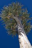 Het Aloë van de boom royalty-vrije stock afbeeldingen