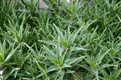Het aloë Vera plant gezonde huidbescherming Stock Fotografie