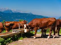 Het alpiene drinkwater van de koeienkudde stock fotografie