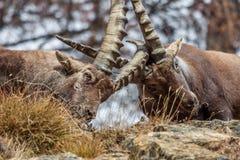 Het alpiene steenbok (Capra-steenbok) mannetjes vechten Royalty-vrije Stock Afbeeldingen