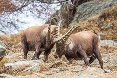 Het alpiene steenbok (Capra-steenbok) mannetjes vechten Stock Fotografie
