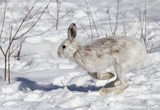 Het americanus lopen van Lepus van sneeuwschoenhazen in de sneeuw royalty-vrije stock foto's
